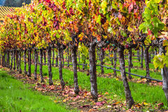 Vines of the wineries. Vineyard view on a rainy and golden sunrise on the California Winery region of Napa and Sonoma Royalty Free Stock Images