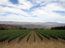Vines. Winery in central California just before grape harvest Royalty Free Stock Photos