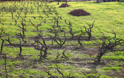 Vines in winter - Alentejo Stock Photography