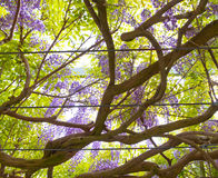 Vines of wisteria hanging off the branches. Stock Image