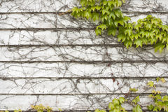 Vines on a wooden wall Stock Photo