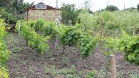 Vinetalina. The vine was taken in a small Bulgarian farm stock video