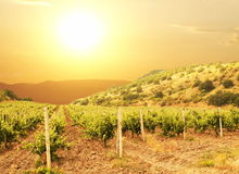 Vineuard. Vinery Royalty Free Stock Images