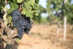 Vineyad Grapes Stock Photos