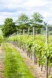 Vineyar blisko Lamberhurst Obrazy Royalty Free