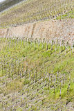 vineyar Moselle dolina Obrazy Royalty Free