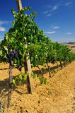Vineyard #001 Royalty Free Stock Photos