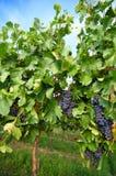 Vineyard - 1 Stock Images
