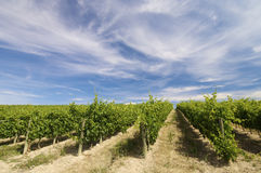 Free Vineyard Royalty Free Stock Photography - 10042187