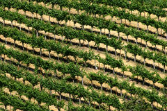 Vineyard. Rows of grape plants in a vineyard stock photography