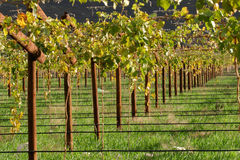 Vineyard. Cape town area, South Africa Royalty Free Stock Photo