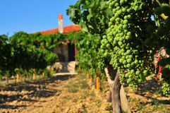 Vineyard. Green grape field and house Stock Photos