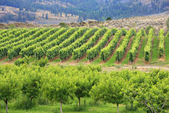 The vineyard. Vineyard in Osoyoos, British Columbia, Canada Stock Image