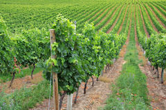 The vineyard Royalty Free Stock Photo