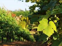 Vineyard. Grape leaves in Italian vineyard royalty free stock images