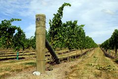 Vineyard. Rows of vines in a vineyard in New Zealand Royalty Free Stock Photography