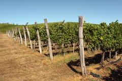 Vineyard. Against blue, summer sky Stock Photo