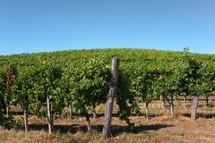 Vineyard. Against blue, summer sky Royalty Free Stock Image