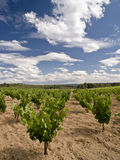 Vineyard. Landscape in vertical format, with a nice summer cloudy sky Stock Images