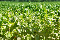 Vineyard. In Napa Valley, California on a sunny day Stock Image