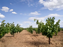 Vineyard. Landscape with a beautiful sunny sky Royalty Free Stock Photo