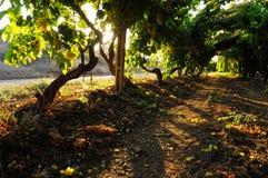 Vineyard. Great vivid vineyard shot at autumn Royalty Free Stock Images