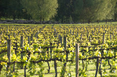 The Vineyard Royalty Free Stock Images