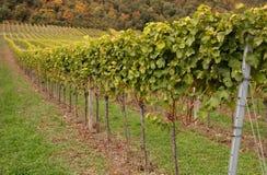Vineyard. Grape vine in raws in the vineyard stock photos