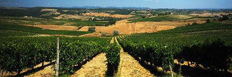 Vineyard. Looking though the growing vines - Italy Royalty Free Stock Photo