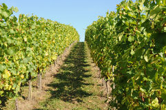 Vineyard. Path through the vineyard in harvest time Stock Photography