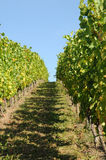 Vineyard. Path through the vineyard in harvest time Royalty Free Stock Photography