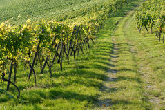 Vineyard. Path through the vineyard in harvest time Stock Photo
