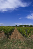 Vineyard. Vines Growing In A Vineyard in Portugal Stock Photo