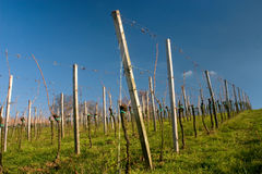 Vineyard. Image of a vineyard early in the season royalty free stock image