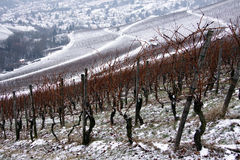 Vineyard. With a path in winter Royalty Free Stock Images