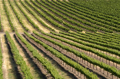 Vineyard. A vineyard, with its rows of grape-bearing vines, makes a great pattern and/or background Royalty Free Stock Photos