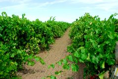 Vineyard. With rows of green vines royalty free stock images