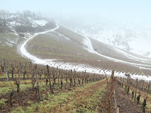 Vineyard. With a path in winter Royalty Free Stock Image