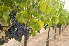 Vineyard. Vines and grapes days away from being picked Stock Image