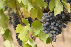 Vineyard. Vines and grapes days away from being picked Royalty Free Stock Photography