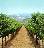 Vineyard. In Sonoma county, California Stock Image