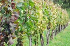 Vineyard. Somewhere in Slovenia. Growing in a Row Stock Photos