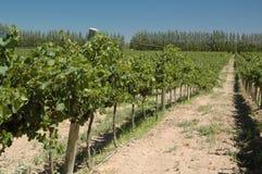 Vineyard. Beautiful Vineyard Landscape in neuquen, Argentina royalty free stock image