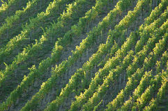 Vineyard. With Rows of Grapes royalty free stock images