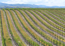 Vineyard. A large vineyard in central California Stock Images
