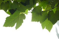 Vineyard. Vine leaves on a blue background Royalty Free Stock Image