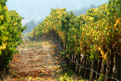 Vineyard. View of a wineyard on autumm Royalty Free Stock Image