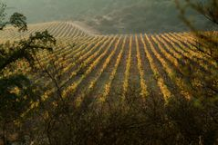 Vineyard. View of a chilean wineyard on autumm royalty free stock photography