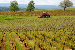 Vineyard. With long  rows of grapes set amidst a mountainous scenery just tended by a tractor Stock Photos