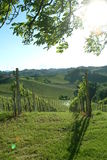 Vineyard. Green vineyard idyll in the tuscany royalty free stock photo